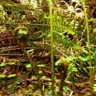 Lady Ferns (Athyrium filix-femina) Uncurling