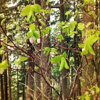 Early Blueberry (Vaccinium ovalifolium)