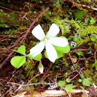 Wood Sorrel (Oxalis acetosella)