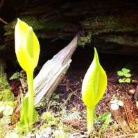 The potent, yet beautiful Western Skunk Cabbage (Skunk Cabbage (Lysichiton americanus)