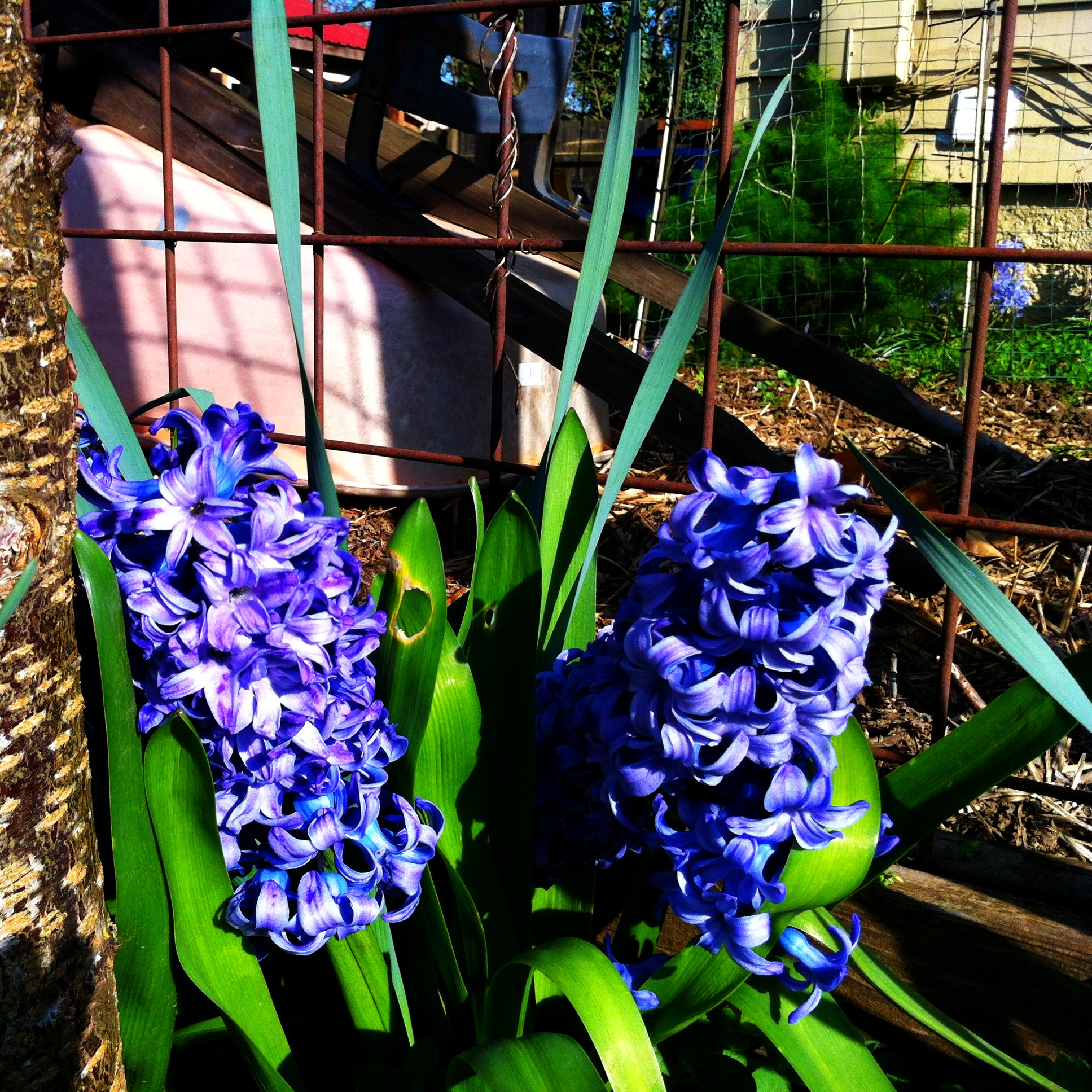 4a16b602c Native to the mediterranean area near modern day Turkey and the Middle  East, today's beautiful Hyacinth flowers get their name from a beautiful,  ...