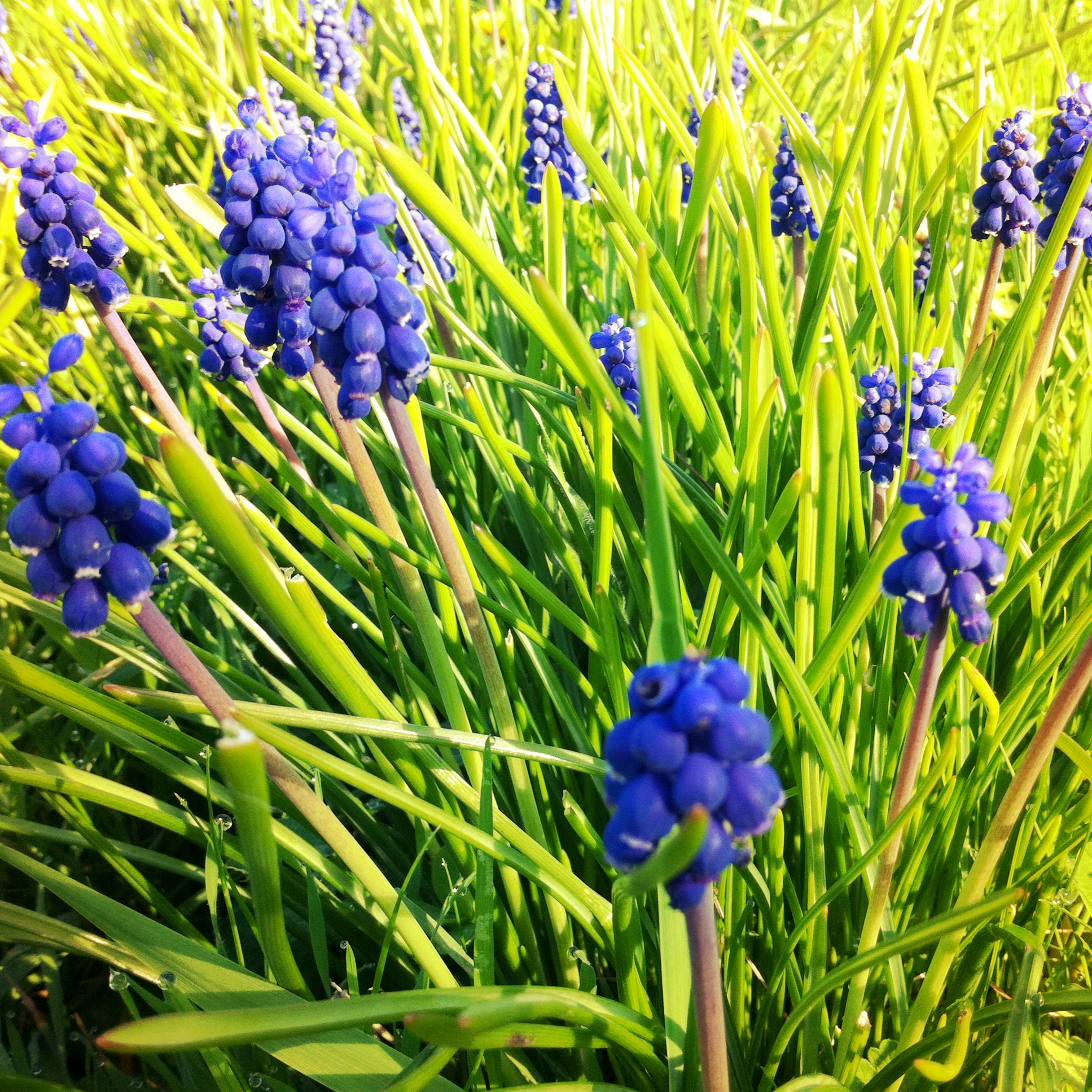 ad7b2abb5 Common Hyacinth is quite a popular spring flower, but whenever I think of  Hyacinth, I think of the little tiny flowers which come up in strange  places, ...