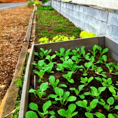 Newly planted bok choi starts at Learning Gardens Laboratory, where I work!